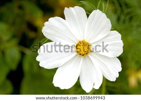 A single white cosmos flower close up ez canvas a single white cosmos flower close up mightylinksfo