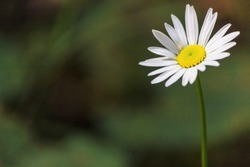 A single white daisy flower with a yellow center on a soft focus green background. Room for text on the side.