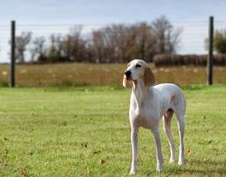 A single white male porcelaine hound dog