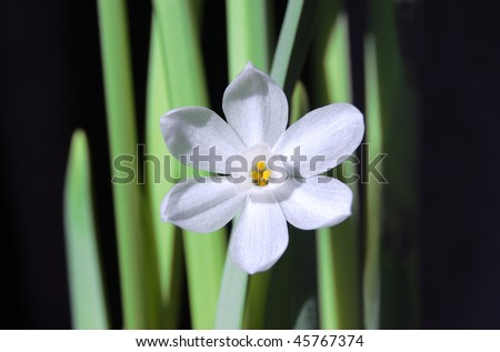 A single white paperwhite narcissus flower against a black background