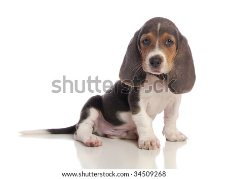 A sitting Basset puppy.