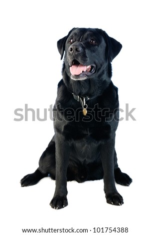 A sitting black labrador dog with a happy expression on his face.