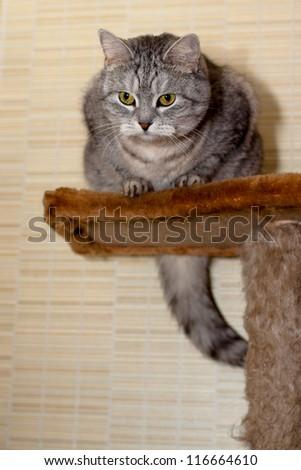 A sitting grey tabby cat