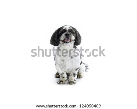 A sitting Shih Poo isolated on a white background.