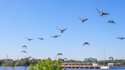A skein of Canada Geese is flying in the direction of the viewer, over a river. The entire flock will soon land, but is here seen in loose formation near the water as the birds approach the riverbank.