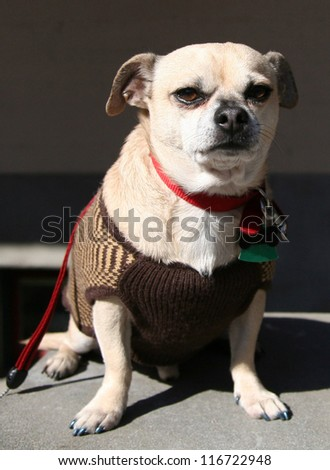 a skeptical chihuahua with a sweater one looking at the camera