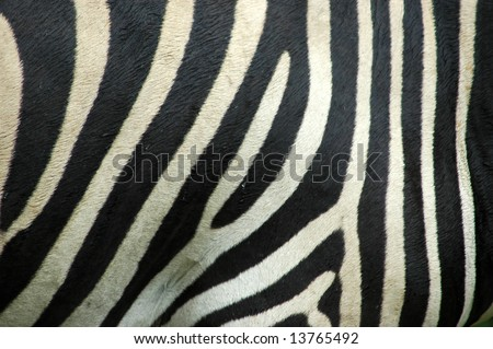black and white striped background. real lack and white Zebra