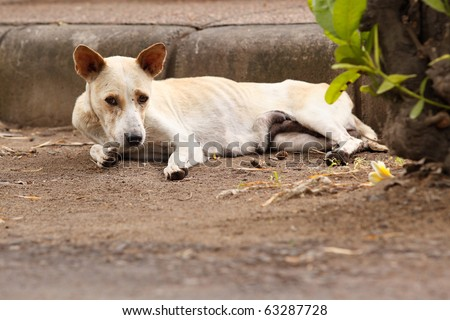 A skinny dog on the streets of Sanur, Bali, Indonesia.