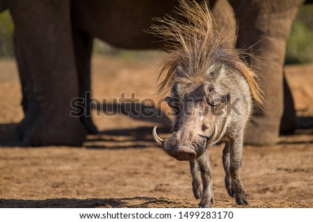 A skittish warthog on a bad hair day at a waterhole surrounded by elephants. Young elephants often give chase when warthogs come close to the waterholes where their family is gathered. Africa. #1499283170