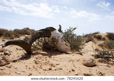 A skull of a sheep in the desert of Libya
