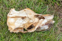 A skull of a sheep on the grass