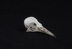 a skull of the Picinae bird