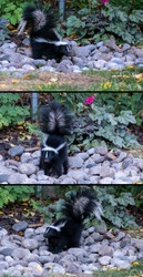 A Skunk Foraging Among River Rocks for Sunflower Seeds Dropped from a Bird Feeder in a Suburban Backyard