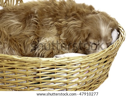 A sleeping cockapoo is having a nap is a wicker basket, isolated against a white background.
