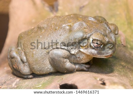 a sleeping Colorado River toad. It is found in northern Mexico and the southwestern United States.  has a smooth, leathery skin and is olive green or mottled brown in color.