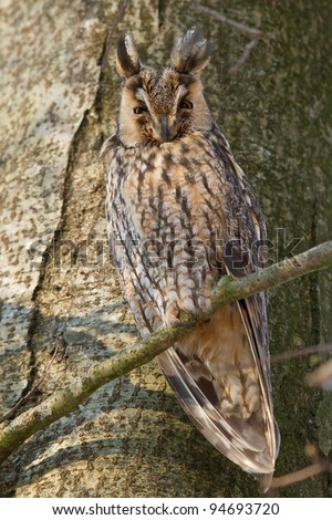 A sleeping long-eared owl in a tree