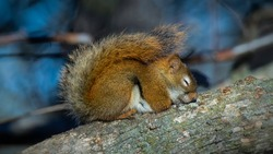 A Sleeping Red Squirrel