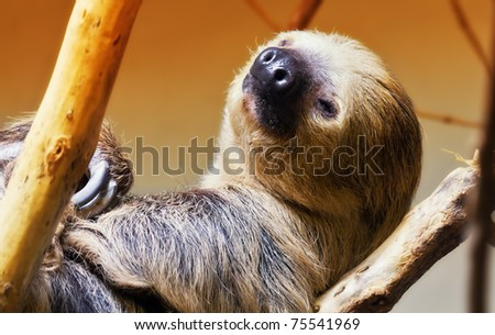 A sloth about to fall asleep in a tree