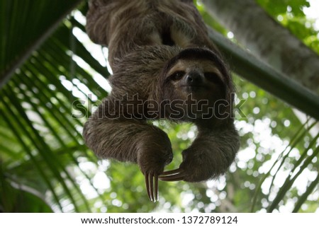 A sloth smiling at the camera while hanging in the Costa Rican jungle. Really cute sloth looking directly to camera while is smiling.