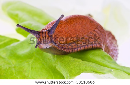 A slug crawls on a leaf of lettuce