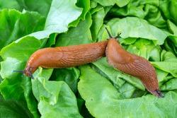 a slug in the garden eating a lettuce leaf. snail invasion in the garden