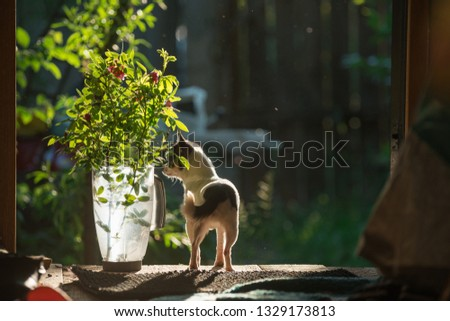 A small and funny chihuahua dog sniffs a bouquet of rose flowers in a transparent plastic jug against the background of a green countryside landscape. The frame is illuminated by the bright sunset sun #1329173813