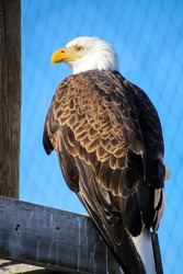 a small bald eagle in a cage