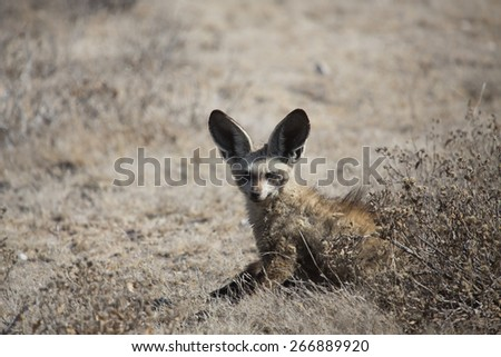 A small bat-eared fox with his large ears up.
