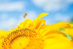 a small bee in pollen flies over a yellow petals of sunflower Helianthus