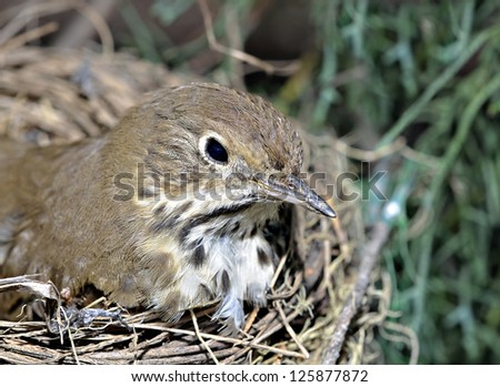 A small bird in a nest on the limb of a tree. - stock photo