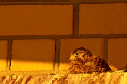 A small bird of a Falcon on the roof of a city house. A lone chick against a brick wall. Kestrel. An endangered bird species. Wild bird. Near. Close up