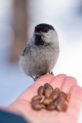 a small bird on the palm of your hand eating nuts