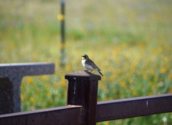 A small bird perched on a metal fence. Beautiful views during spring season at the Wildflower loop trail at Wind Wolves Preserve near Bakersfield, CA.