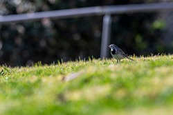 A small bird, White wagtail (Motacilla alba), walking on a green lawn. white wagtail, small bird