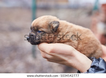 A small black dog lies on the hands of a girl. Female hands holding a dachshund puppy on a background of green grass. #1034542777
