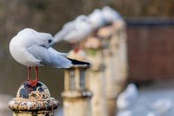 A small black headed gull, winter feathered seagull sitting on an old metal pole by the lake, many seagulls in a row standing on poles with focus on the first bird. Cute litte sea bird with red legs.