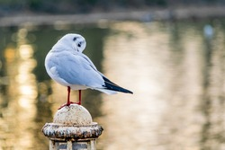 A small black headed gull, winter feathered seagull standing on an old pole by the lake, bird on beautiful sunset reflections bokeh background