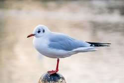 A small black headed gull, winter feathered seagull standing on an old pole by the lake, still bird isolated with other birds on water surface in the blurred background