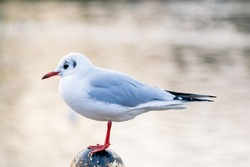 A small black headed gull, winter feathered seagull standing on an old pole by the lake, still bird on blurred water background