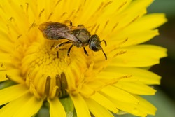 A small black Metallic Sweat Bee is collecting nectar from a yellow Dandelion flower. Taylor Creek Park, Toronto, Ontario, Canada.
