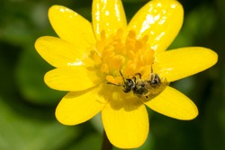A small black Metallic Sweat bee is collecting nectar from a yellow Lesser celendine flower. Taylor Creek Park, Toronto, Ontario, Canada.