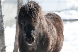 A small black Newfoundland pony stands in a horse pen with a wood fence and snow on a ranch. The breed of domestic animal has a long chestnut mane, dark eyes, and steam coming from its mouth.