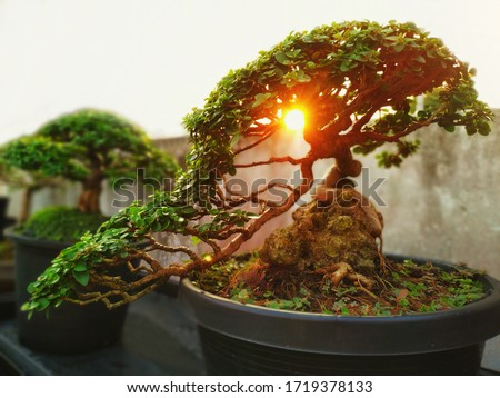 A small bonsai is growing in a black pot, overlaid with the light of the orange sun, giving a feeling of warmth in the morning. Bonsai Tree Gardening Concept. Сток-фото ©