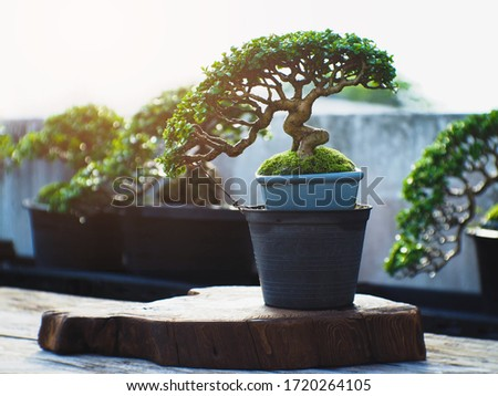 A small bonsai is growing in a blue pot, overlaid with the light of the orange sun, giving a feeling of warmth in the morning. Bonsai Tree Gardening Concept. Сток-фото ©