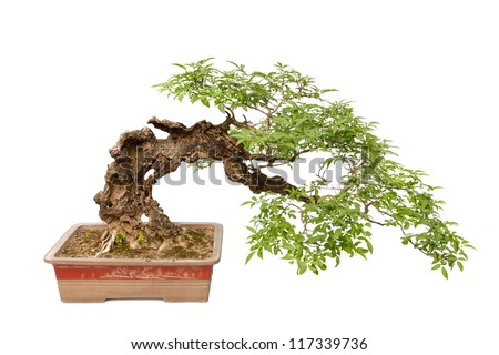 A small bonsai tree in a ceramic pot. Cascade style,isolated on a white background.