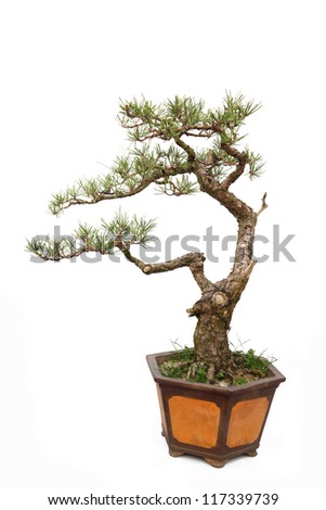 A small bonsai tree in a ceramic pot. Informal upright style ,isolated on a white background.