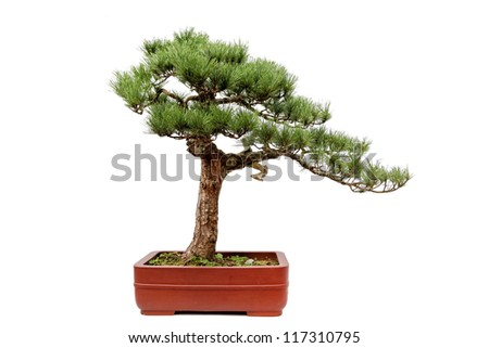 A small bonsai tree in a ceramic pot,the style of tree is from the Chinese Most famous place of Huangshan Guest-Greeting Pine. Isolated on a white background.