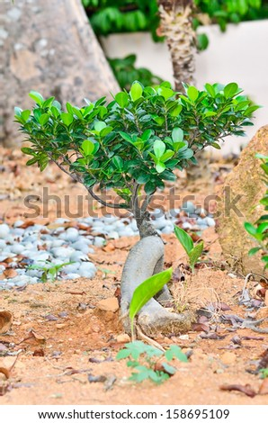 A small bonsai tree on the ground