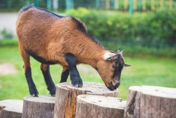 A small brown and black goat climbs wooden stumps and eats grain against a green natural background. Farm life, petting zoo. Concept of caring for pets, animals in nature. Selective focus, copy space.