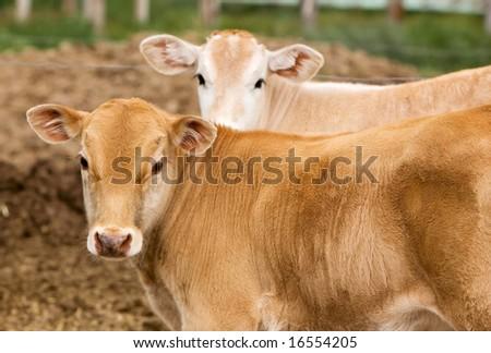 A small brown Chianina calf looking at the camera
